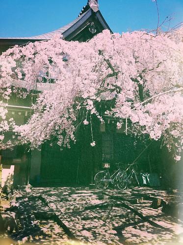 The sakura life