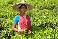 Young Tea Picker Outside Srimongal, Bangladesh (uncorneredmarket) Tags: women worker bangladesh teaestate aes srimongal srimangal teapicker teapicking