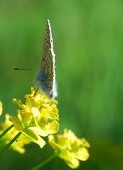 Plebejus argus (Le pot-ager) Tags: animaux insectes lycaenidae plebejusargus lpidoptres lepetitargus