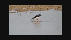 Video - Black-necked Stilts Courting/Mating (Steve Gifford - IN) Tags: county black bird nature station video energy dancing nest wildlife steve indiana duke mating steven society gibson eagles stilts stilt courting audubon gifford shorebirds ias courtship copulating necked blacknecked generating haubstadt