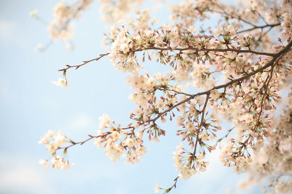 Sakura in Minatomirai
