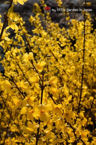 spring-in-tokyo-6