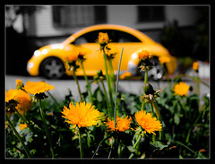 yellow car ([bruno raffa]) Tags: flower car yellow beetle newbeetle