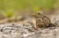 I want some flies! (Aimee Woodcock) Tags: closeup hiking frog toad micro depth