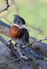 Giant Kingfisher, Ruaha National Park