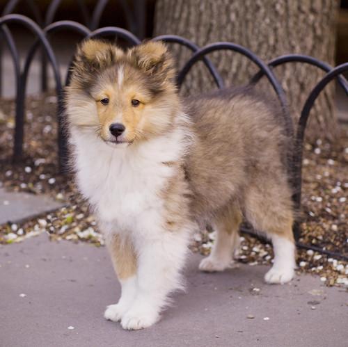 フリー写真素材, 動物, 哺乳類, 犬・イヌ, コリー, 子犬・小犬,