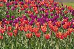 orange and purple tulips (Joey Johannsen) Tags: flowers plants color nature gardens spring thenetherlands tuin keukenhof lisse