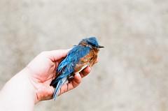 Sky that I've lost. (bellydnce1103) Tags: blue selfportrait color bird film girl 35mm canon lens dead 50mm hand bluebird ftb fujifulm