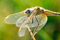 Liblula / Dragonfly (Roberto Abad Genzor) Tags: life wild naturaleza color colour macro nature up animal animals closeup canon bug insect photo colorful colours foto close dragonfly vivid 100mm 100 28 liblula ef aproximacin ef100mm28