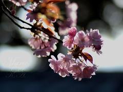 till dusk... (Marie Eve K.A. (away..)) Tags: pink sunset flower tree nature japan closeup temple spring flora kyoto dof bokeh dusk f14 branches 85mm olympus   sakura cherryblossoms olympuspen  planar ep2 earlyevening      ninnaji ninnajitemple  omuroninnaji