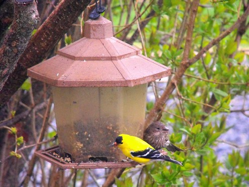 Goldfinch and female House Finch