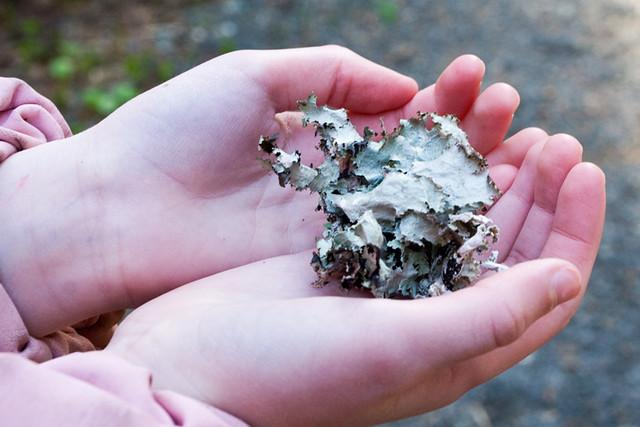 waxpaper_lichen