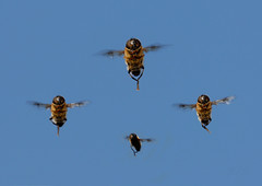 """Leader to nr 4:  """"Keep in formation!!"""" (John de Grooth) Tags: copyright macro fly action bees formation leader position bij hoverfly wingman hover actie copyrighted bijen flyed formationflight indevlucht johndegrooth mygearandme wwwjohndegroothnl info0599615058 informatievliegen"""