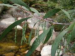 Acacia dallachiana (Mike Bayly) Tags: angiosperms taxonomy:binomial=acaciadallachiana geo:country=australia acacia acaciadallachiana catkinwattle fabaceae mimosoideae arfp vrfp nswrfp wetsclerophyllaf arffs greenarffs leaf