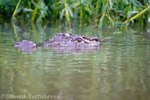 Indian Marsh Crocodile
