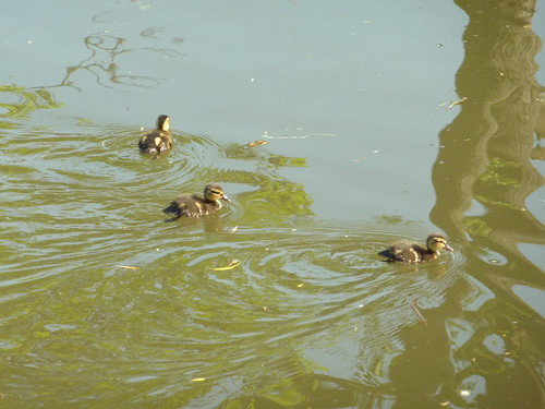 First Spring Ducklings