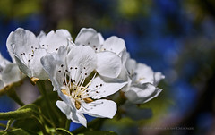 Pear Blossoms (Didenze) Tags: flowers light closeup spring blossoms bulgaria pearblossoms canon450d didenze