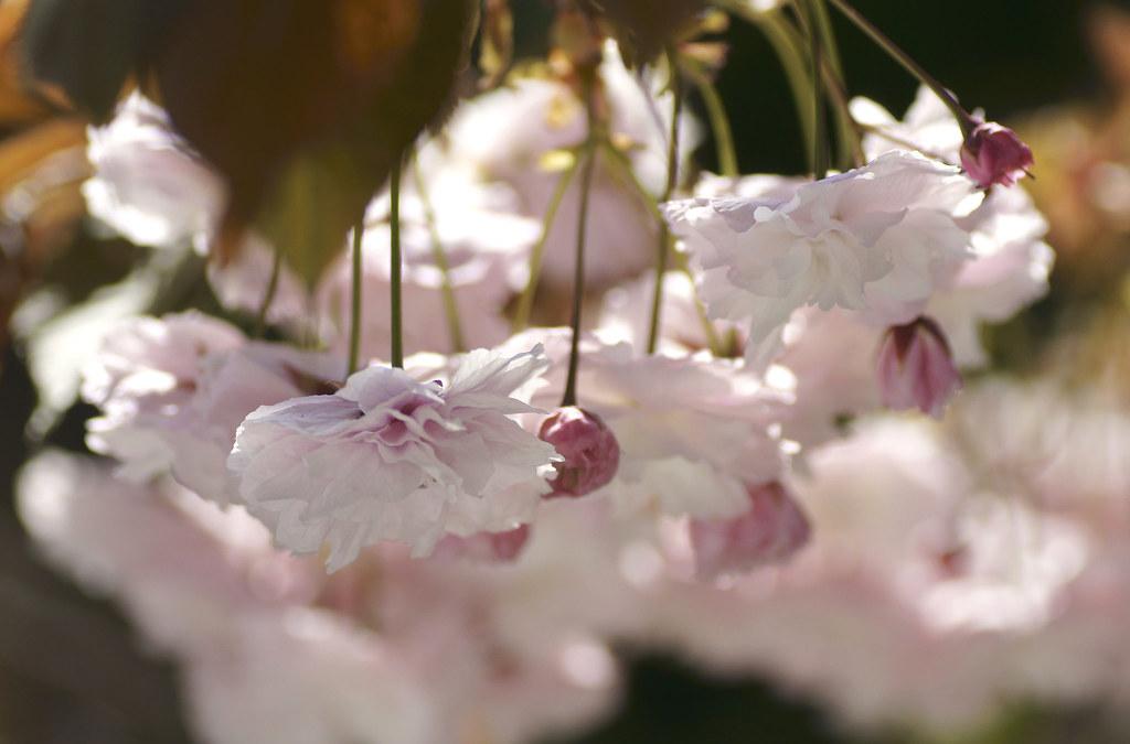 Cherry Blossom 143