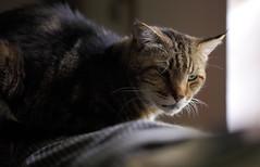 IMG_16348C (Just George 2) Tags: portrait cat iso3200 feline chat dof bokeh tabby kitty greeneyes gato kitteh bobby katze gatto gs f28 kedi matou eartufts maximumaperture canoneos5dmarkii tuftedears canonef100mmf28lmacroisusm