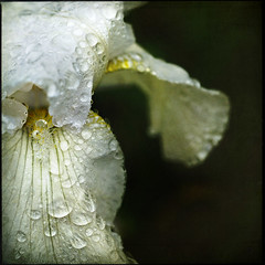 morning's rain (Sarah P) Tags: morning iris texture raindrops 60mm mb magicalmoments olema gpc flypaper coth fantasticnature nikond700 lunagallery lesbrumes magicunicornverybest magicunicornmasterpiece sailsevenseas flypapertexture sarahp morningsrain springtimepainterly