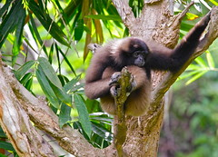 Gibbon (Cjames Fotografia) Tags: flickrduel
