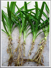 Propagating Pandanus amaryllifolius (Fragrant Pandan): young plants separated for individual replant. Shot April 20 2011
