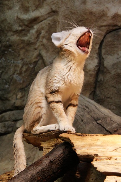 Sand Cat Yawning
