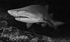 Matilda (JoeDaniels-Maluku) Tags: fish marine ray underwater australia scuba diving snorkeling seychelles whaleshark reef ningaloo manta overunder greynurseshark