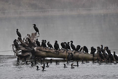 Cormorant Convention (Bob Gundersen) Tags: usa reflection water birds animal landscape manchester outside photo interesting nikon energy flickr image shots outdoor dam shoreline foggy picture feather newengland newhampshire utility nh generator electricity cormorant scenes animalplanet gundersen nikoncamera amoskeag psnh d5000 nikond5000 bobgundersen robertgundersen eversourceenergy eversource
