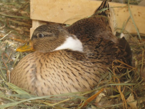 Hattie, nesting