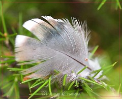 Silver feather~*~Explored (~~NatSnap~~) Tags: macro nature birdfeather silverfeather exploredphoto cafeelite featheronabush greenerywithfeather