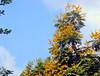 '..Unnoto momo shir...' Radhachura~Copperpod~Peltophorum pterocarpum [explored] (sajan164) Tags: park dhaka bangladesh ramna explored copperpod peltophorumpterocarpum radhachura sajan164