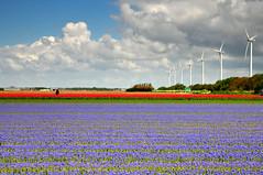 (hetty m) Tags: bollenveld windmolens blauwedruifjes