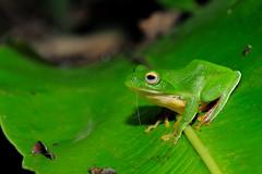 DSC_7227_s (jolod307) Tags: macro nikon taiwan frog micro frogs biodiversity 105mm 樹蛙 105mmvr 105mmmicro 莫氏樹蛙 d700 nikond700 莫氏