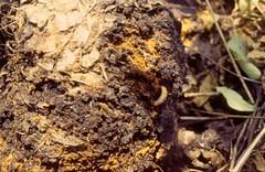 Dogwood borer larva associated with an apple burr knot. Photo courtesy of Alan R. Biggs, West Virginia University.