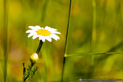 Camomile (Marc G.C.) Tags: summer white plant flower macro green nature floral beauty up field yellow closeup garden season botanical leaf spring colorful natural bright blossom head seasonal grow fresh petal growth health vegetation daisy bloom organic simple kamille freshness chamomile manzanilla camomile camomille doublyniceshot tripleniceshot mygearandme mygearandmepremium mygearandmebronze
