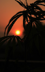 morning glory (munkypun) Tags: nepal sunset sunrise weed peace god nepalese pokhara cannabis nepali