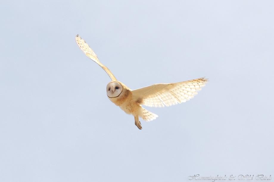 Barn-Owl-051106