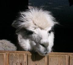 Hi , I am an alpaca  ,    11- 67/656 (roba66) Tags: alpaca animal animals zoo tiere g h only creature tierpark tier botgarten saariysqualitypictures lovely~lovelyphoto roba66 zoolgarten