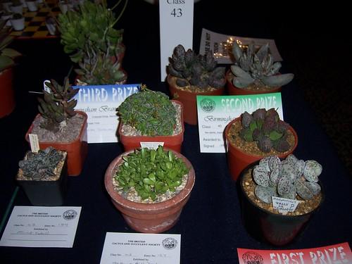 Adromischus @Birmingham Branch Cactus Show