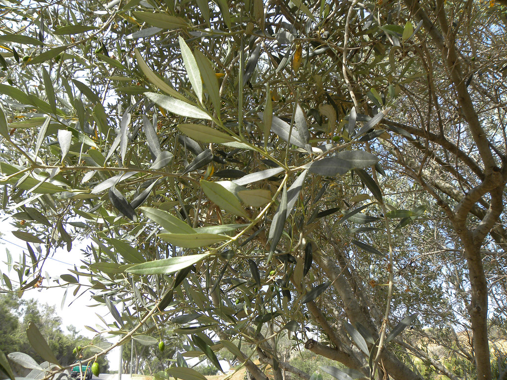 Close up of an Olive Tree