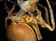 spider wrapping prey (14) (pbertner) Tags: macro rainforest legs arachnid selva 8 jungle patas spinne araa makro biology  hutan beine araigne kaki dschungel biologie macrophotography macrography arachnide biologa macrofotografa  biologi  arcnido  makrofotografie macrografa     makrografie      8  8    spinnentierlabahlabah