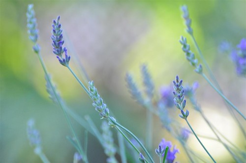 Sunday morning: lavender and bokeh.