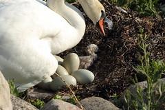 Eggs and a newborn (Christofer73) Tags: swan sweden sverige malm resund ungar