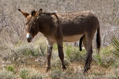 Wild-Burro-with-erect-penis-in-Red-Rock-Canyon-national-conservation-area-Nevada-003.jpg (RogueSocks) Tags: redrockcanyon cactus mountain plant weather animal cacti landscape day desert lasvegas nevada donkey sunny foliage clear burro geology redrock jackass desertlandscape erect desertplant nevadadesert bluediamond bonniesprings wilddonkey timeofday wildburro springmountainranchstatepark desertfoliage geologicformation donkeypenis nevadausa redrockcanyonnevada redrockcanyonlasvegas plantsandfoliage redrockburro redrockcanyonvegas nevadawildburro burropenis erectburropenis erectdonkeypenis wildjackass