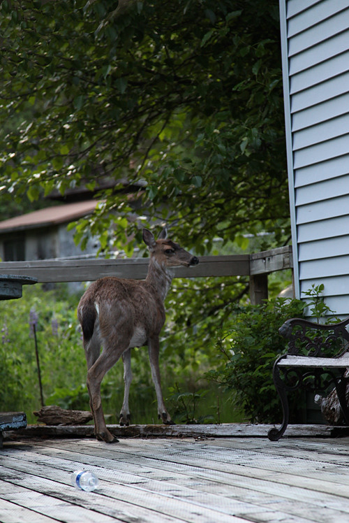 a deer on my deck, Kasaan, Alaska