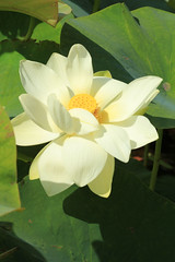 Parc Floral 023 (MUMU.09) Tags: photo foto lotus flor  bild blume fiore  imagem     flori       fiorediloto hoasen flordeloto  lotusblomma floweroflotus   lotosblume fleurdelotus     ltuszvirg kwiatlotosu  lotusblomst lotusblth lotusblm   lotosovkvt lotusiei mumu09
