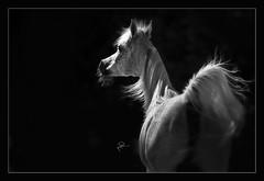 Arabian Horses (HANI AL MAWASH) Tags: art animal photo al kuwait hani  artphoto      animalkingdomelite mywinners  aplusphoto kuwaitphoto   almawash almwash kuwaitartphoto kuwaitart  mawash blinkagain
