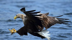 Wild Sea Eagle fishing in Mull (www.willdawesphotography.co.uk) Tags: sea eagle will mull dawes charters willdawes