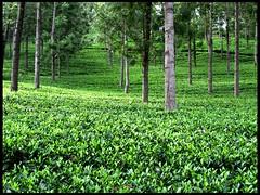 Tea Estate (Joevimalraj) Tags: sky india plant tree green nature beauty pinetree pine garden private estate tea awesome joe plantation slope ooty raj southindia munnar teaestate yercaud vimal jvr joevimalraj